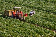 Mensen die in een oogst werken Stock Afbeeldingen