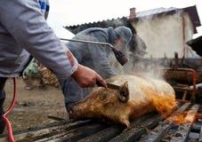 Mensen die het varken voorbereidingen treffen thuis af te slachten Stock Foto's