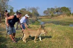 Mensen die met leeuwen lopen Stock Foto's