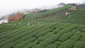 Mensen die Oolong-Theebladen op Aanplanting op Alishan-Berggebied verzamelen, Taiwan Lucht Mening stock footage