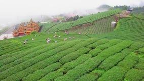 Mensen die oolong theebladen op aanplanting op Alishan-berggebied verzamelen, Taiwan Lucht Mening stock footage