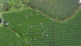 Mensen die Oolong-Theebladen op Aanplanting op Alishan-Gebied verzamelen, Taiwan Lucht Mening stock footage