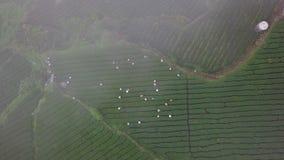 Mensen die Oolong-Theebladen op Aanplanting op Alishan-Gebied verzamelen, Taiwan Satellietbeeld in Mistig Weer stock footage