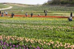 Mensen die tulpen en gele narcissen plukken Royalty-vrije Stock Afbeeldingen