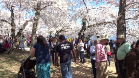 Mensen die van Cherry Blossoms op Zaterdag genieten stock video