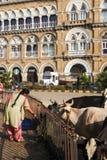 Mensen die voedsel aanbieden aan heilige koe in Mumbai, India Stock Foto