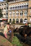 Mensen die voedsel aanbieden aan heilige koe in Mumbai, India Stock Foto's