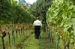 Mensen die wijndruiven oogsten Royalty-vrije Stock Foto's