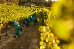 Mensen die in wijngaard oogsten stock fotografie