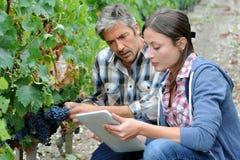 Mensen die in wijngaard werken Stock Fotografie