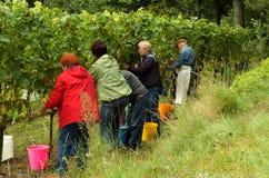 Mensen die wijnstok oogsten Royalty-vrije Stock Fotografie