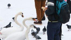 Mensen die Zwanen in de Winter voeden stock footage