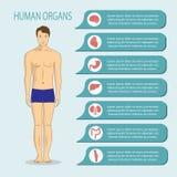 Mensen en menselijke organen, hart, lever, nieren, hersenen, maag, darmen, verbindingen Stock Afbeelding