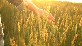 Mensen` s hand van de landbouwersmens op tarwegebied die en wat betreft tarweoren bij zonsondergang lopen Landbouwer die van mens stock video