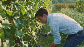 Mensen scherpe druiven tijdens het het oogsten procédé Langzame Motie stock videobeelden