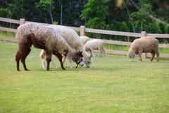 Mensen van het vee van Latijns Amerika van lamaalpacas het voeden in landbouwbedrijfgras Stock Foto's