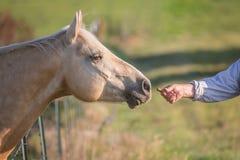 Mensen voedend paard een traktatie Royalty-vrije Stock Afbeelding
