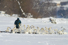 Mensen voedende troep van stodde zwanen op de winterdag Stock Afbeeldingen