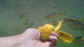 Mensen voedende vissen met handen van rijpe mango stock videobeelden