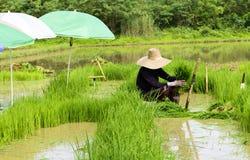 Mensenarbeider bij groen de rijstgras van het landbouwbedrijfwerk stock fotografie