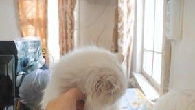 Mensenhand die een kat strijken de oude witte pluizige zitting van het kattenportret op de lijst oude mooie witte kattenzitting d stock footage