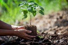 Mensenhand die jonge boom op zwarte grond planten royalty-vrije stock foto's