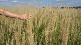 Mensenhand die tarwegebied doornemen Mannelijke hand wat betreft de close-up van tarweoren Landbouwer Het concept van de oogst De stock video