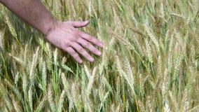 Mensenhand die tarwegebied doornemen Mannelijke hand wat betreft de close-up van tarweoren Landbouwer Het concept van de oogst De stock videobeelden