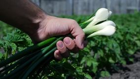 Mensenhand die witte uien dicht tegenhouden in openlucht stock videobeelden
