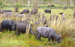 Mensenronde op buffelskudde in padie Stock Foto