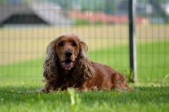 Mensonge à cheveux longs de chien de Brown Images stock