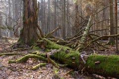 Mensonge cassé de chêne enveloppé par mousse Photographie stock libre de droits