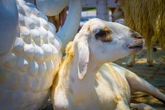 Mensonge d'agneaux Images libres de droits