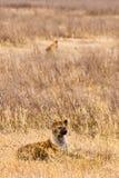 mensonge d'hyène d'herbe Photographie stock libre de droits