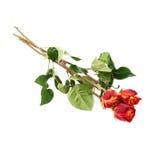 Mensonge d'isolement trois par roses au-dessus de la surface blanche Photo libre de droits