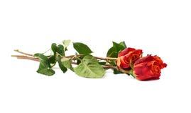 Mensonge d'isolement trois par roses au-dessus de la surface blanche Photo stock