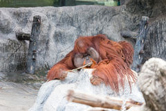 Mensonge d'orang-outan sur la roche Images libres de droits