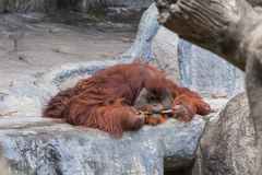 Mensonge d'orang-outan sur la roche Photos libres de droits