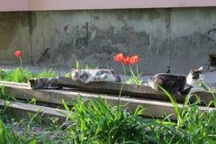 Mensonge de chats près des tulipes Images libres de droits