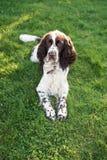 Mensonge de chien de chasseur d'épagneul de springer anglais d'animal familier de Lovly beau après promenade sur l'herbe verte d' images libres de droits
