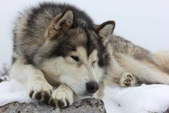 Mensonge de chien de Malamute Photo libre de droits