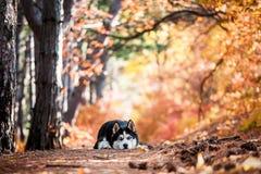 Mensonge de chien de traîneau sibérien Images stock
