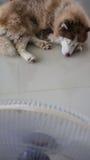 Mensonge de chien de traîneau sibérien Photo libre de droits