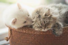 Mensonge de chien de traîneau sibérien mignon et de chat persan Photo libre de droits