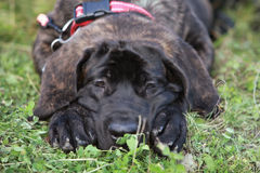 Mensonge de chiot de Mastiff Images libres de droits