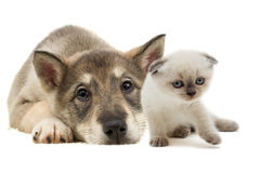 Mensonge de chiot et de chaton Photo stock