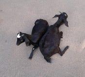 Mensonge de deux chèvres Image stock