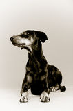 Mensonge de Dobermann Photos stock