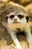 Mensonge de Meerkat Photos libres de droits