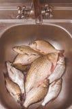 Mensonge de poisson frais dans l'évier avant d'étriper et nettoyer Images stock